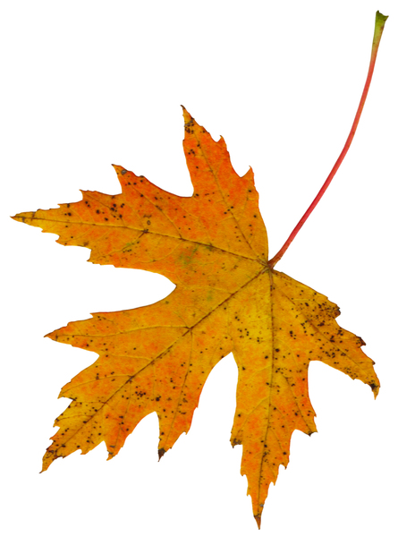 Leaf  56: A series of isolated fall leaves.