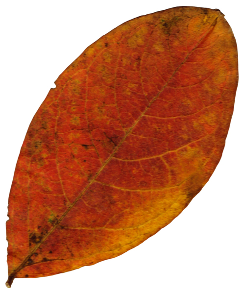 Leaf 66: A series of fall leaves.
