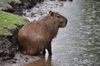 Capybara: A capybara in the rain
