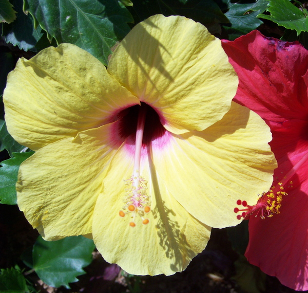 Red and Yellow Hibiscus 1: No description