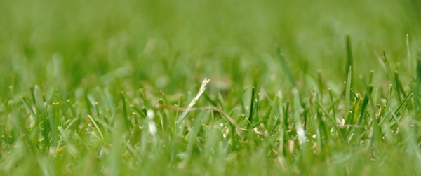 Grass 1: close up from grass