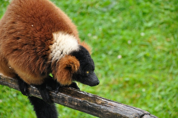 Red ruffed lemur 4: Red fuffed lemurs in the zoo
