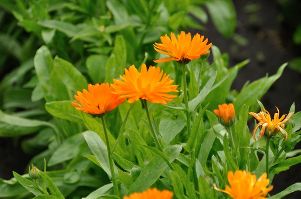 Marigold: orange flowers called marigold or calendula officinalis