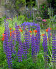 Lupin & Poppies: A flower garden wiht lupin and poppies in Carbridge, Scotland