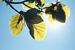 Sun through the leaves: Sun shining through some leaves.