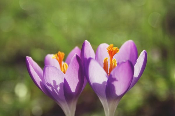 Early spring: Crocus in early spring