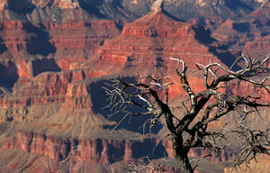 Canyon Tree: Shot of tree from Grand Canyon in Arizona