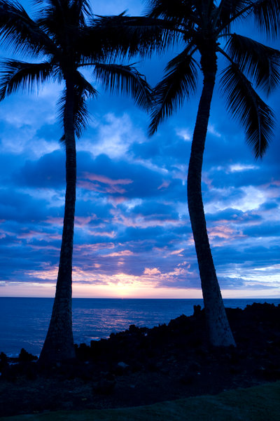 Palm Trees after sunset: shot of palm trees Silhouetted during a hawaiian sunset