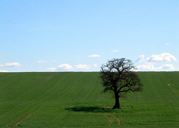 stand alone bare: lone tree in field in early spring yet to gain foliage