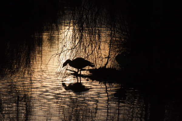 Wildfowl Silhouette: Goose against a golden watery background