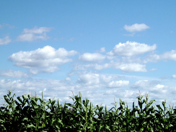 Corn Field: Blue skies, rows of corn and not much else. :-)