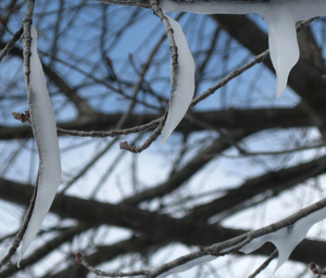 Icy tree branches: Ice covered tree branches hanging down