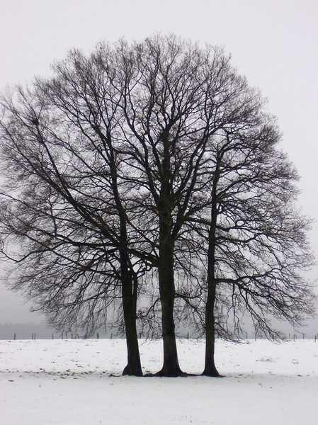 Lonely tree: A tree, standing lonely in a snowy pasture