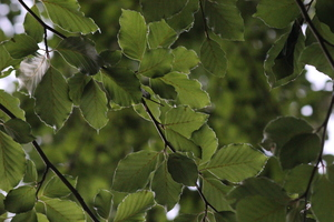 Green Beech Leaves: Setting for summer mood