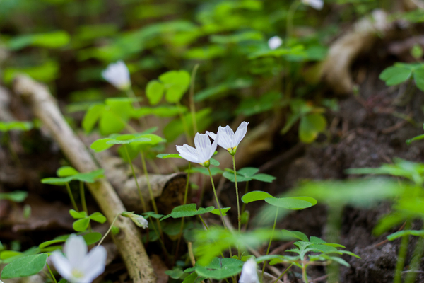 From the Forest floor: Wood Sorrel in the forest floor. Nordic Scandinavian Nature.