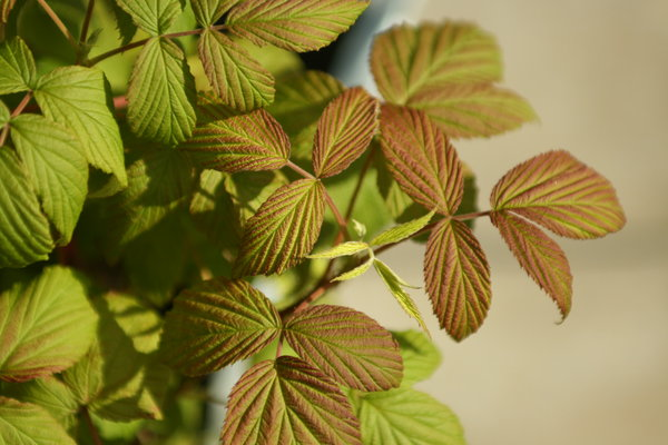 raspberries: i love raspberries, even there leaves are gorgeous to look at.