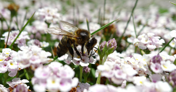 Bee: Bee on a flower, near the river.