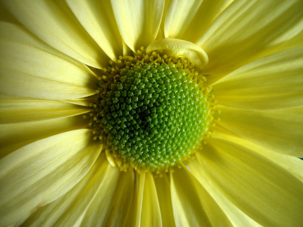 Super Daisy: A super macro shot of a daisy. I just had to try out this feature on my new camera. :)