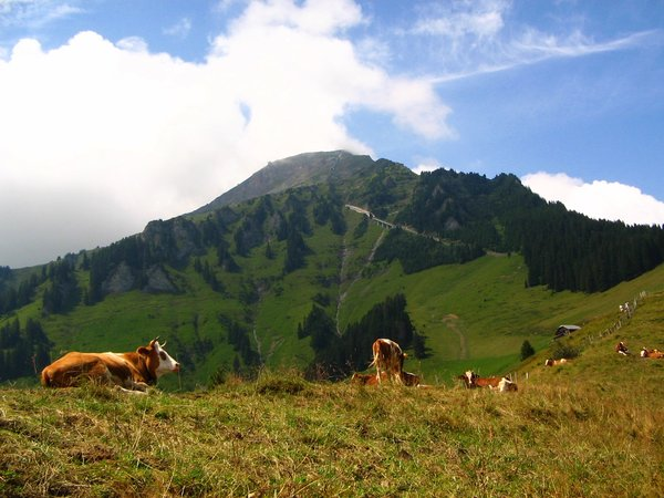 swiss cows: Swiss cows, Niesen (the swiss pyramid), Switzerland 2006
