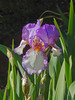 flower: a close up of a beautiful purple iris