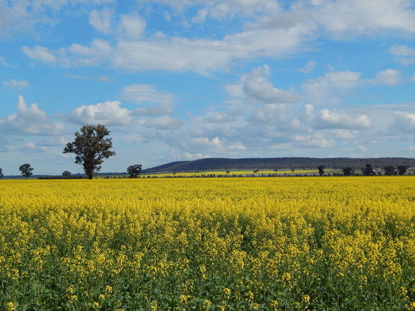 agriculture: a healthy canola crop with cloudy sky and hill