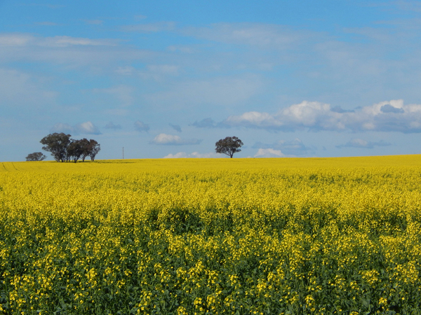 agriculture: eucalyptus trees in a flowering canola crop
