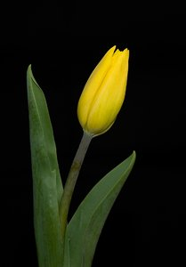Yellow Tulip I: Tulip