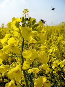 Rapeseed: Rapeseed crop in field