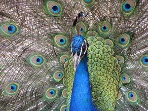 Look at me: peacock