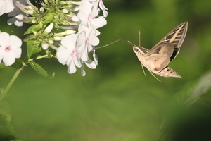 humming bird moth: humming bird moth