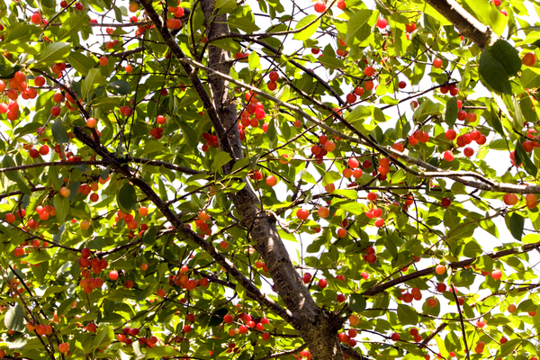 Cherries: Tart cherries ripen on the tree in summer.