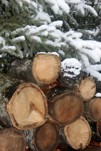 snowy pines and logs: Snowy pine bows draped over cut logs for firewood.