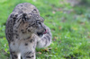 Snow leopard showing tongue: Pictures of a snow leopard showing tongue in the zoo of Planckendael, Belgium