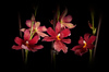Orchid flowers: A picture of red orchid flowers on a black background