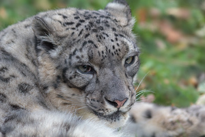 Close-up of snow leopard: Close-up picture of a snow leopard in the zoo of Planckendael, Belgium