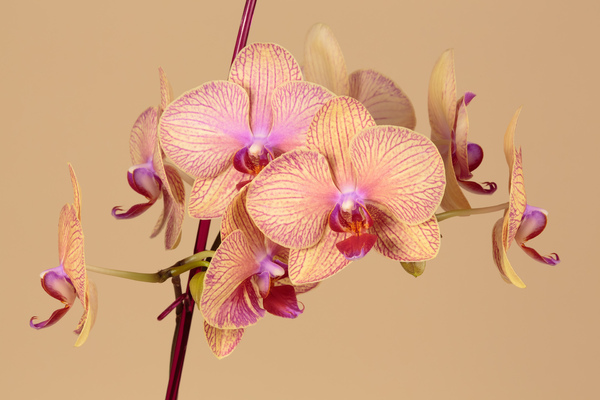 Orchid flowers: A close-up picture of an orchid, done in a studio with a soft background