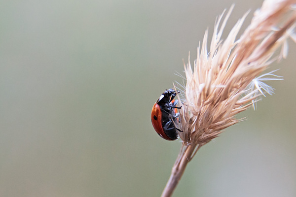 Ladybug closeup: A close-up picture of a ladybug in the natural habitat with soft background