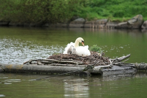 Nesting swan: Long lens shot of a nesting swan and her cygnets