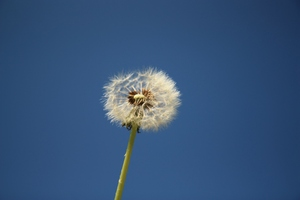 Dandelion blue sky sequence 2: Sequence of images of a dandelion seed head against a blue sky, with fewer seeds each time...