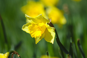 Daffodil: Single daffodil picked out from large bank