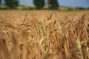 Wheat: Cereal crops ripening in a field
