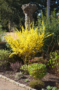 Yellow bush: Vivid yellow bush in garden in sunshine