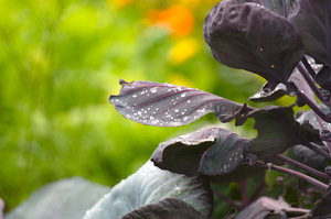 Purple Brussels Sprouts plant: Purple leaved variety of Brussels Sprout