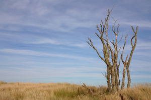 Bare Beach Tree: A bare branched tree on coastal dunes