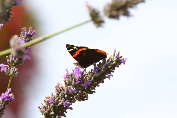Butterfly on Lavender: Close-up shots of a butterfly feeding on a lavender bush