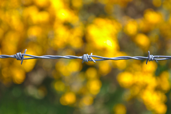 Barbed wire: A strand of barbed wire against yellow gorse flowers