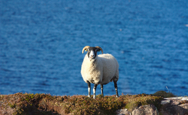 Sheep: A lone sheep against a Scottish West Highland backdrop