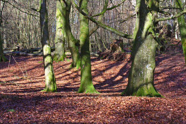 Mature woodland: Mossy mature trees in woodland, with dead leaves on the ground