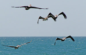 3 and 2: A formation of pelicans on a fishing raid in El Guamache bay (Margarita Island).