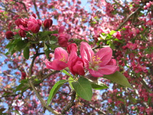 Spring 6: The crab-apple tree and other things blooming in spring of 2008.I was climbinb around in the branches to get these shots. They say that the bee populations are dieing off and I think it's true. When I was younger, the whole trees would have been buzzing,